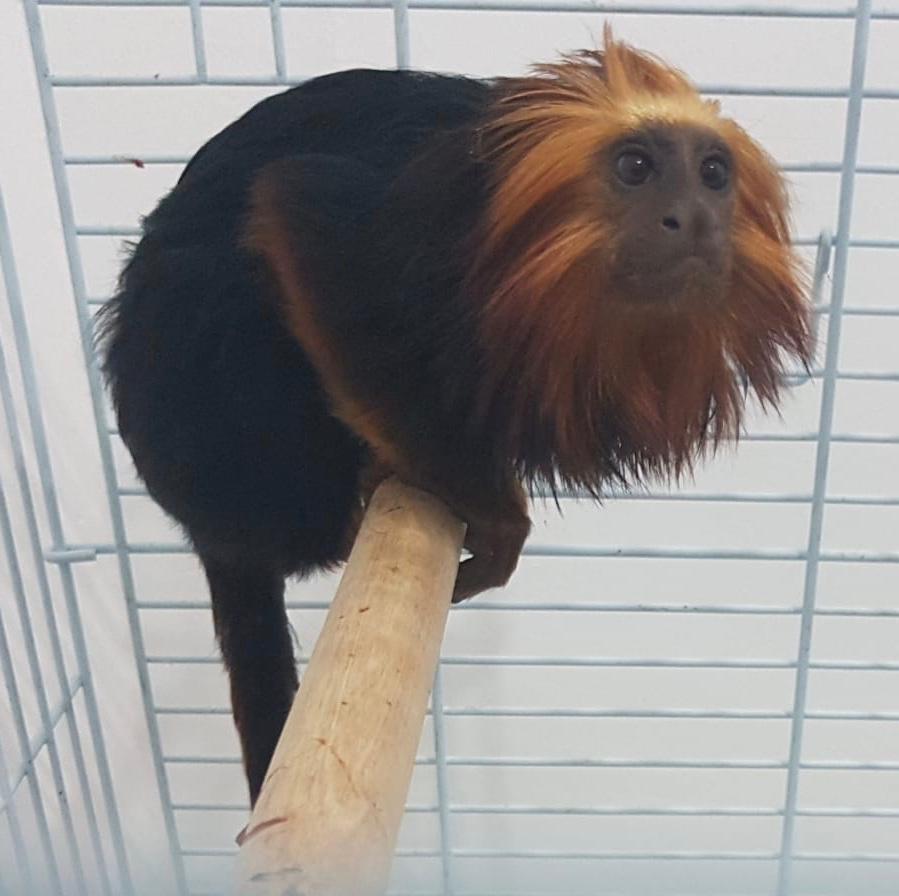 נעצרו 3 תושבי קרית אתא שגנבו את הקוף שבתמונה