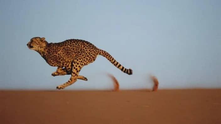 את החתול המהיר בעולם כבר ראיתם? תמונות מהעולם
