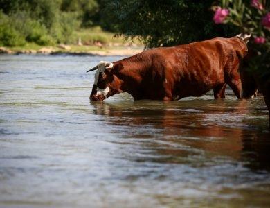 פרה אדומה צילום דוד כהן פלאש 90
